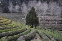 PLANTATION DE THE A BOSEONG, COREE DU SUD