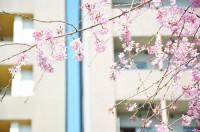 Il y a juste un an, à Tokyo, les cerisiers étaient en fleurs  ...