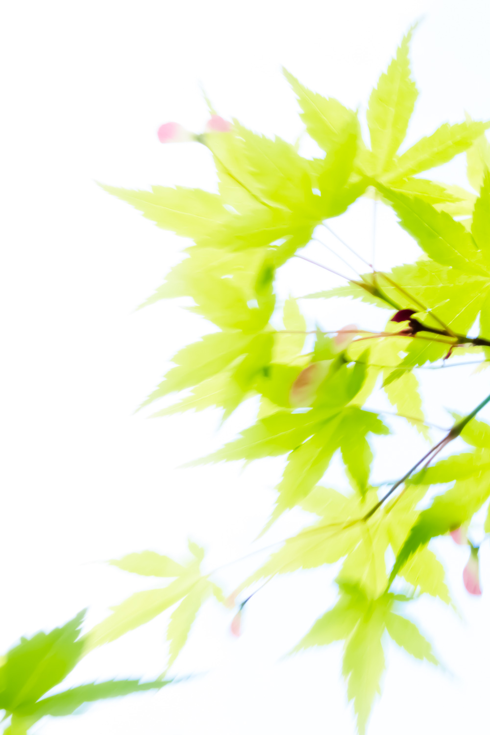 JAPANEESE MAPLE, USA by Carine