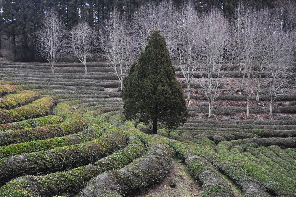 PLANTATION DE THE A BOSEONG, COREE DU SUD